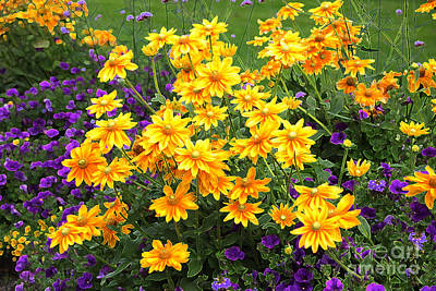 Energizing Yellow Orange And Purple Flowers Print by Carol Groenen