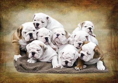 English Photograph - English Bulldog Pups by Jody Trappe Photography