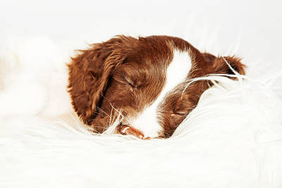 English Springer Spaniel Puppy Sleeping On Fur Print by Susan Schmitz