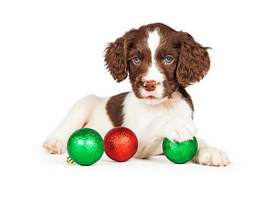 English Springer Spaniel Puppy With Christmas Baubles Print by Susan Schmitz