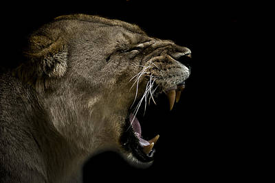 Lioness Photograph - Enraged by Paul Neville