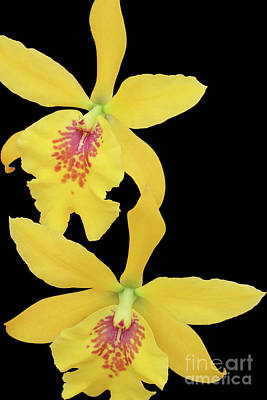 Epilaeliocattleya Don Herman Gold Rush Print by Judy Whitton
