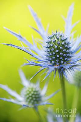 Eryngium X Oliverianum Flowering Print by Tim Gainey
