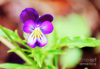 Photograph - Essence Of The Wild Pansy by Janie Johnson