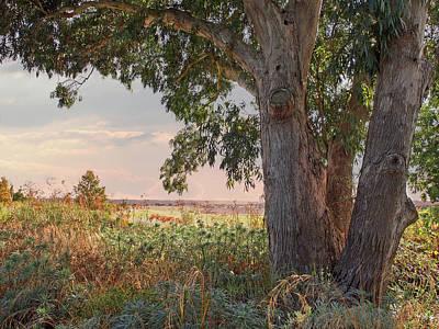 Eucalyptus Tree In Autumn Evening Light Print by Gill Billington