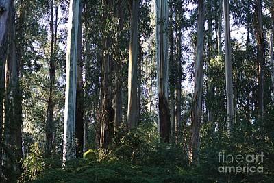Photograph - Eucalyptus Trees And Beautiful Ferns    by Joy Watson