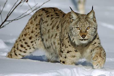Lynxes Photograph - Eurasian Lynx  In Snow by Willi Rolfes