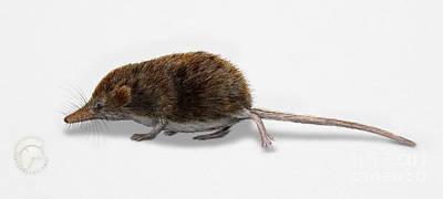 Mouse Painting - Eurasian Pygmy Shrew - Sorex Minutus - Musaraigne Pygmee - Musar by Urft Valley Art