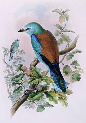 Fruit Tree Art Painting - European Roller by John Gould