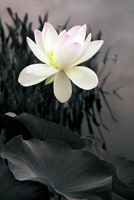 Evening Lotus  Print by Jessica Jenney