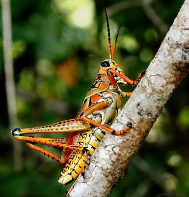 Everglades Grasshopper Original by Joseph G Holland