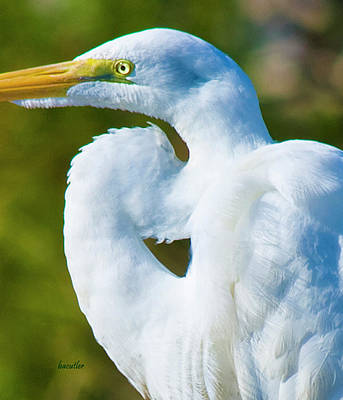 Egret Photograph - Eye-catching by Betsy Knapp