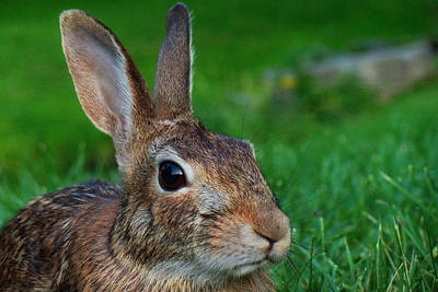 Rabbit Hunting Photograph - Eye-contact With The Rabbit by Asbed Iskedjian