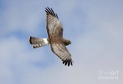 Northern Harrier Photograph - Eye Of The Harrier by Mike Dawson