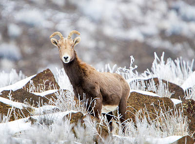 Ram Horn Photograph - Eyes On  by Mike Dawson