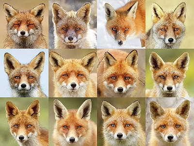 Faces Of Foxes Print by Roeselien Raimond
