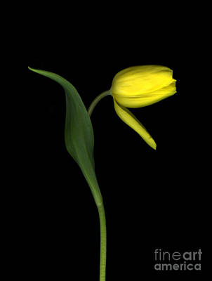 Fading Tulip Original by Christian Slanec