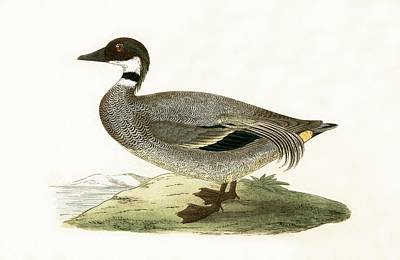 Falcated Teal Print by English School