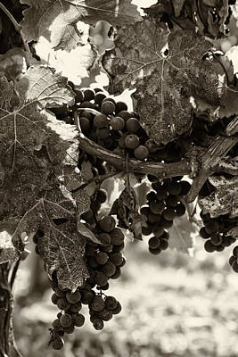 Grapevine Photograph - Fall Grapes - Toned by Georgia Fowler