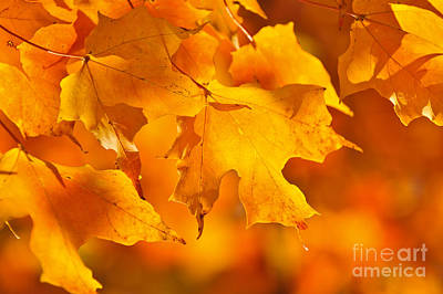 November Photograph - Fall Maple Leaves by Elena Elisseeva