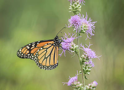 Photograph - Fall Monarch 2016-1 by Thomas Young