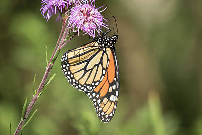 Photograph - Fall Monarch 2016-3 by Thomas Young