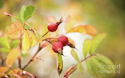 Prickly Wild Rose Photograph - Fall Rose Hips 2 by Wendy Elliott