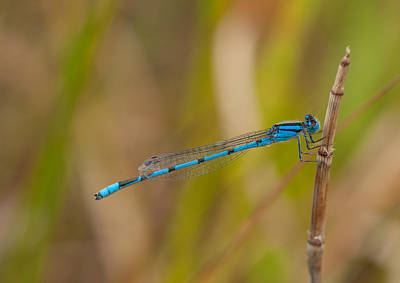 Familiar Bluet Print by Gerald DeBoer