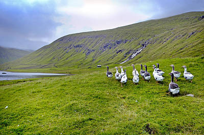 Faroes Geese Print by Robert Lacy