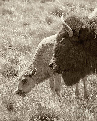 Father And Baby Buffalo Print by Rebecca Margraf