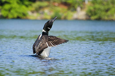 Ducks Photograph - Father Loon by Donna Doherty