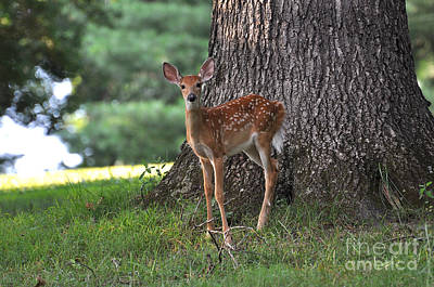 Fawn Print by Todd Hostetter