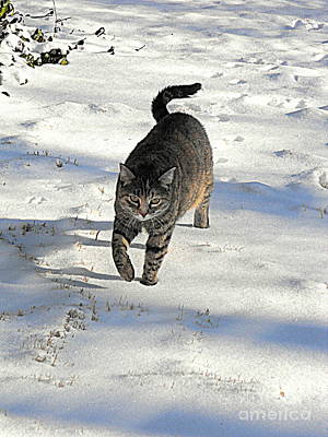 Gray Tabby Photograph - Feather In Snow by Nancy Kane Chapman
