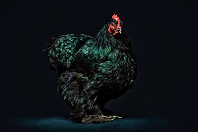 Chicken Photograph - Feathers by John Towner