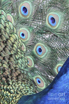 Feathers Of A Peacock Print by Carolyn Brown