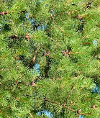 Feathery Pine Needles Print by Will Borden