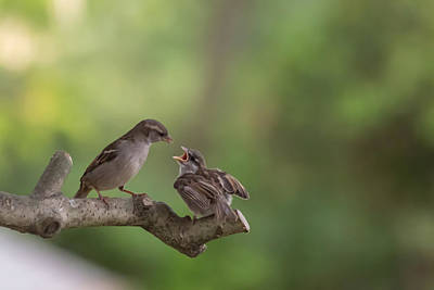 Feeding Time House Sparrows Print by Terry DeLuco