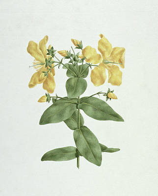 Graphite Painting - Feel-fetch - Hypericum Quartinianum by James Bruce