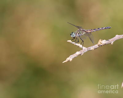 Female Blue Dasher On Reed Print by Ruth Jolly