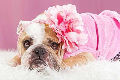 Female Bulldog Wearing Pink Outfit And Flower Print by Susan Schmitz