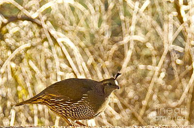 Sean Photograph - Female California Quail by Sean Griffin