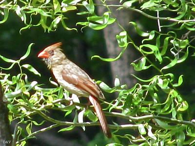 Peaches On A Tree Photograph - Female Cardinal by Debra     Vatalaro