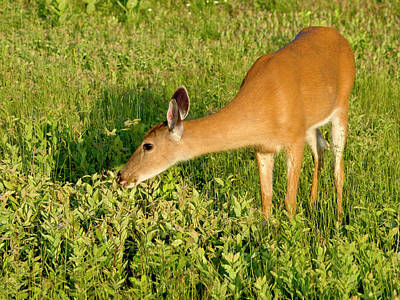 Elkton Photograph - Female Deer Eating by John Radosevich
