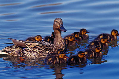 Duckling Photograph - Female Mallard Duck With Chicks by Panoramic Images