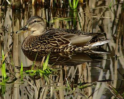 Female Mallard Original by Marilyn Peterson