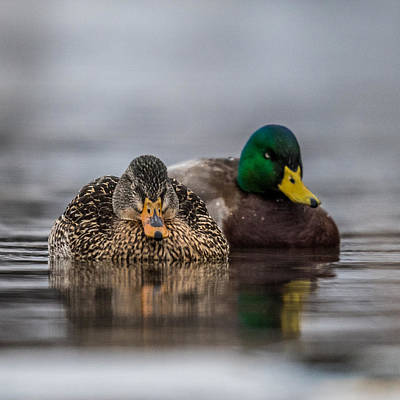 Wild Ducks Photograph - Female Mallard by Paul Freidlund