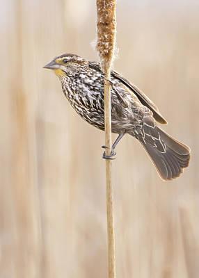 Wetland Photograph - Female Red-winged Blackbird by Jim Hughes