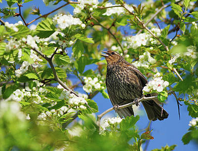 Blackbird Photograph - Female Red-winged Blackbird by Tony Beck