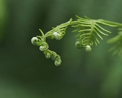 Fern Frond Awakening Print by Rona Black
