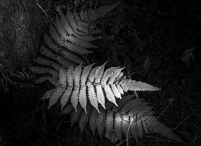 Little Red River Photograph - Fern Life B/w by Marvin Spates